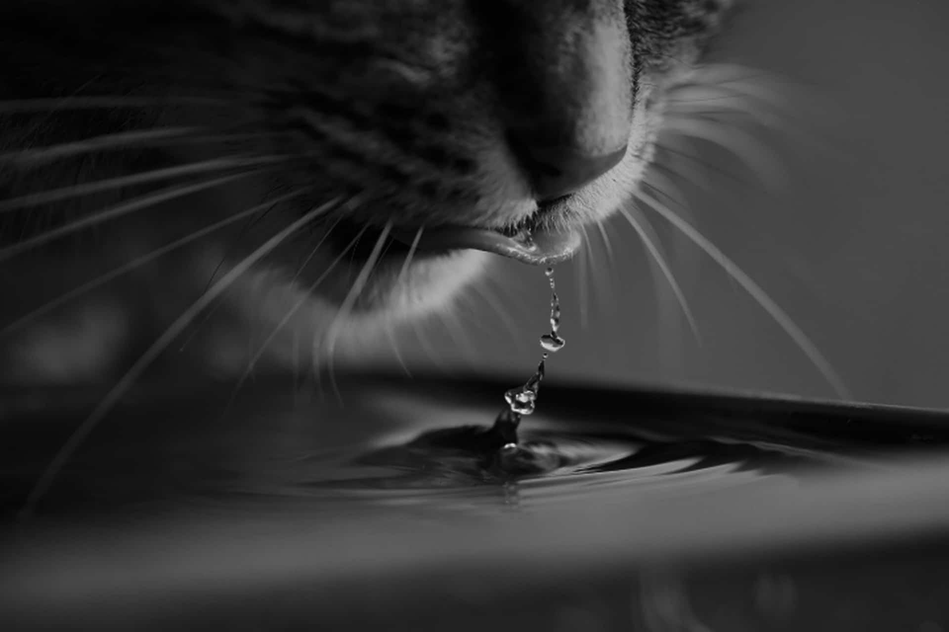 chat qui boit beaucoup